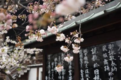 cerisiers-fleurs-mont-fuji-voyage-japon-conseils-pratiques
