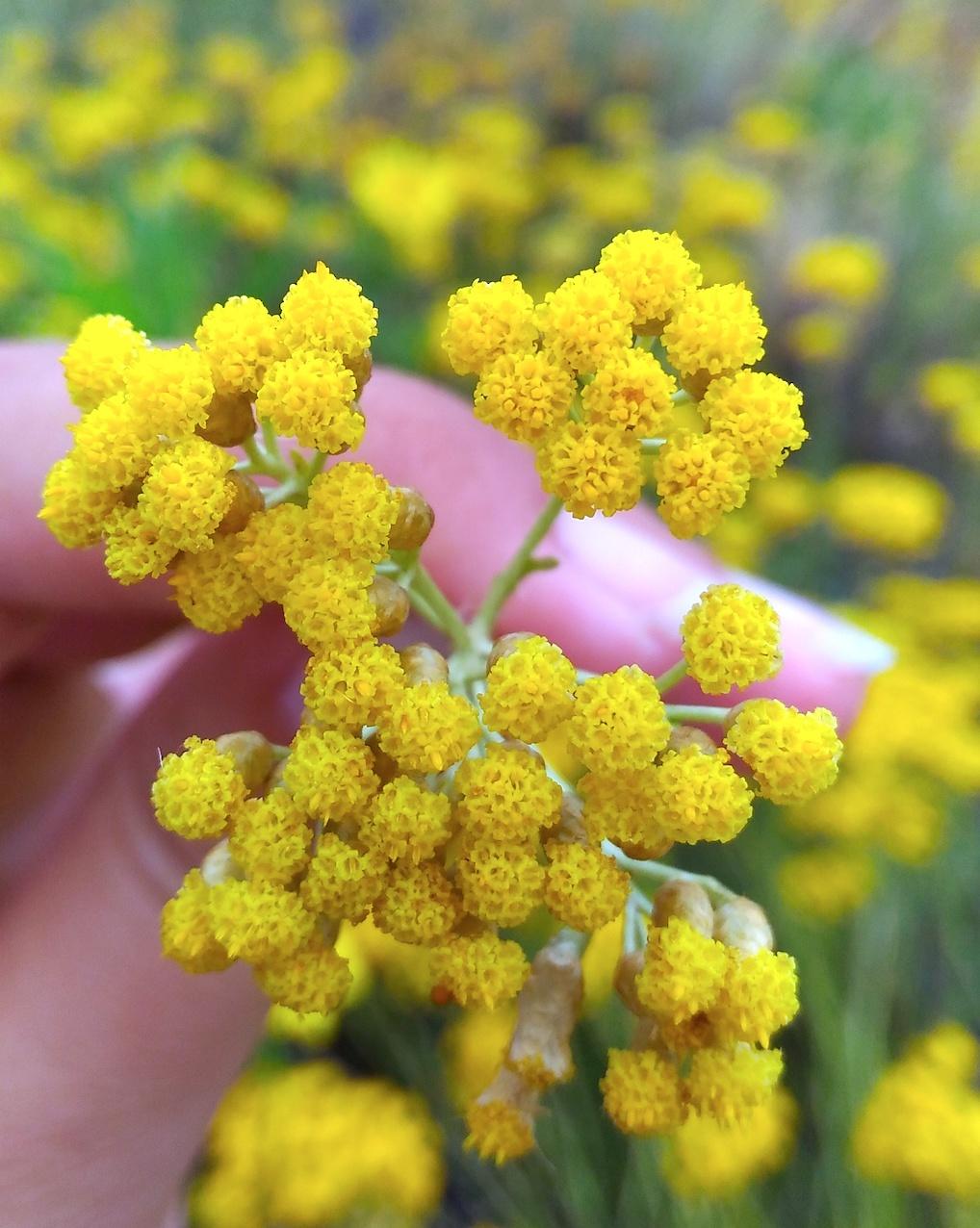 recolte-helichryse-huile-essentielle-naturactive-bog-voyage-beaute-1