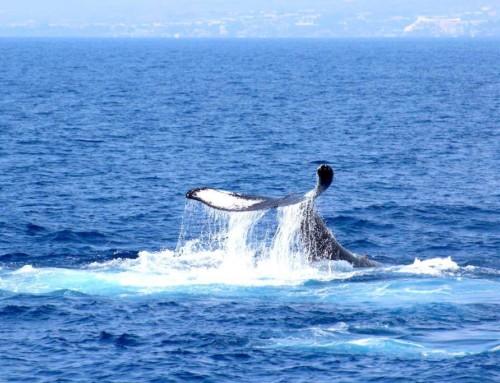 Hawaii – A la rencontre des baleines et des dauphins…